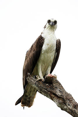 Photograph - Osprey With Meal by Lauren Lang