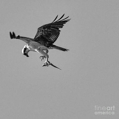 Photograph - Osprey With Prey by Frank Williams