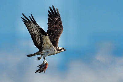 Photograph - Osprey With Rainbow Bass 2 by Don Durfee
