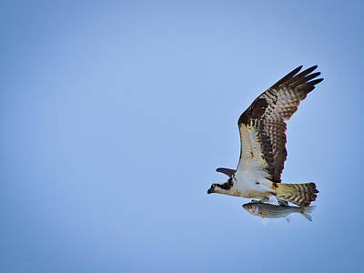 Photograph - Osprey With Rockfish by David Kay