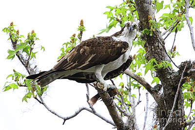 Photograph - Osprey With Snack by Deborah Benoit