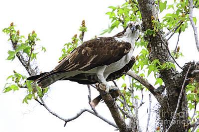 Osprey With Snack Print by Deborah Benoit