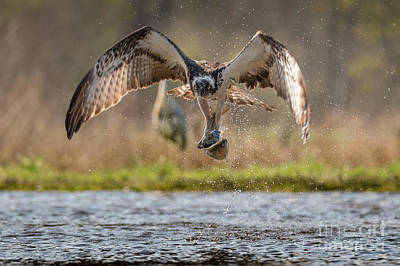 Photograph - Osprey With Trout by Keith Thorburn LRPS
