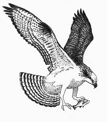 Osprey Drawing - Osprey With White Perch by Edith Thompson