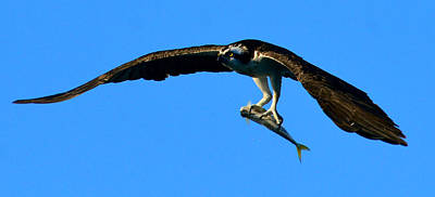 Photograph - Osprey With Yellow Tail by David Lee Thompson