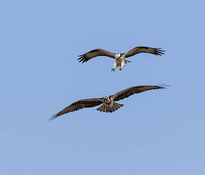 Photograph - Ospreys 2018-1 by Thomas Young