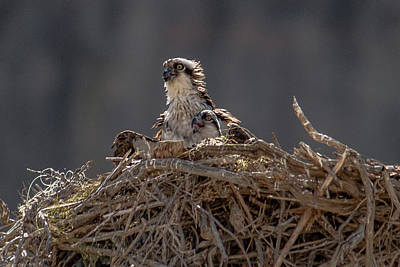 Photograph - Ospreys by James Dudrow