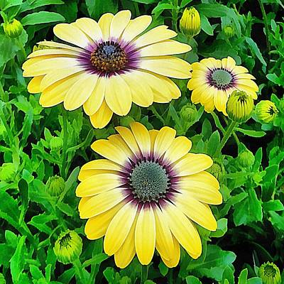 Photograph - Osteospermum Serenity Blue by Dorothy Berry-Lound