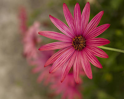 Photograph - Osteospermum The Cape Daisy by Shirley Mitchell