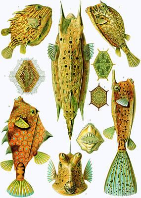 Spiritual Teacher Painting - Ostraciontes Boxfish by Ernst Haeckel