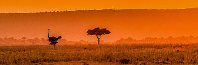 Ostrich Photograph - Ostrich At Dusk by Bryan Moore