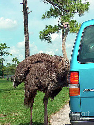 Photograph - Ostrich At The Car by Merton Allen