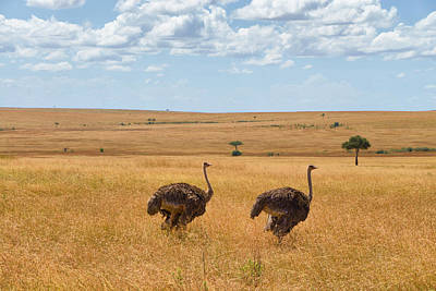 Photograph - Ostrich by Balram Panikkaserry