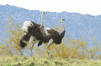 Photograph - Ostrich Chase 3 by Fraida Gutovich
