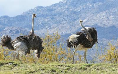 Photograph - Ostrich Chase by Fraida Gutovich