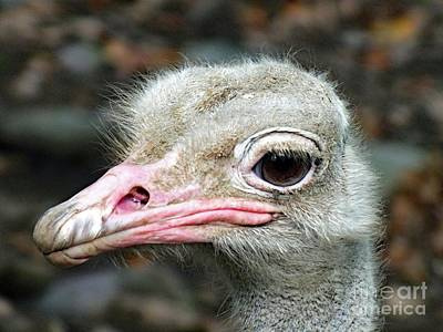 Animals Royalty-Free and Rights-Managed Images - Ostrich by Cindy Treger