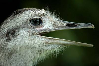 Ostrich Face Original by Neil Oxenburg