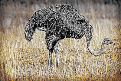 Photograph - Ostrich In The Veldt by Patrick Kain