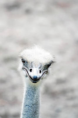 Animals Photos - Ostrich by Lauren Mancke