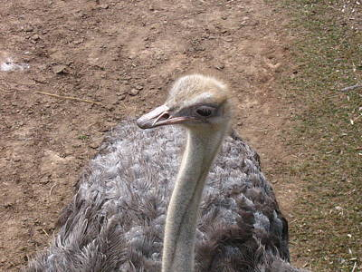 Ostrich Original by Melissa Parks