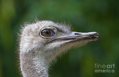 Ostrich Photograph - Ostrich Portrait by Dr. Hinrich B�semann