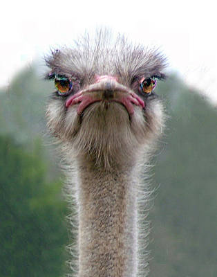 Photograph - Ostrich Portrait by William Bitman