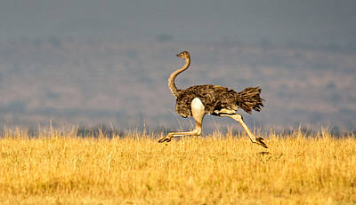 Ostrich Photograph - Ostrich Struthio Camelus Running by Panoramic Images