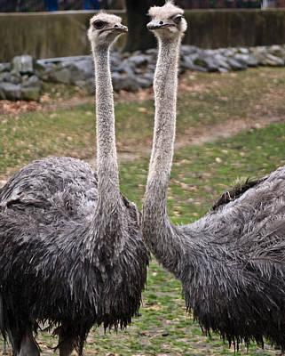 Ostrich Photograph - Ostrich Twins 2 by Douglas Barnett