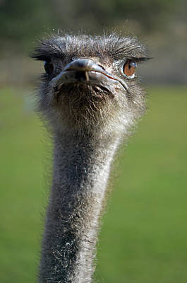Ostrich What A Face Art Print