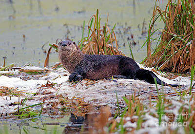 Photograph - Otter 2 by Sharon Talson