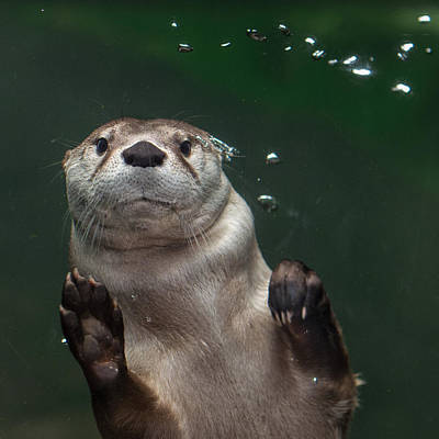 Photograph - Otter Against The Glass by Greg Nyquist