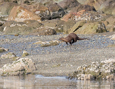 Photograph - Otter At Full Speed by Loree Johnson