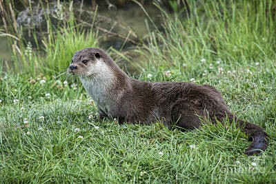 Otter By The Water Art Print by Philip Pound