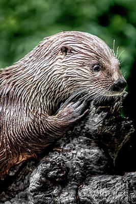 Photograph - Otter by David Millenheft