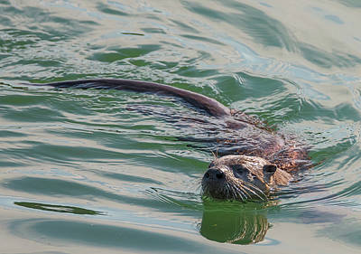 Photograph - Otter In The Water by Loree Johnson
