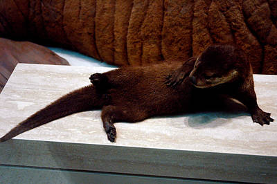 Zoo Photograph - Otter Like It by LeeAnn McLaneGoetz McLaneGoetzStudioLLCcom