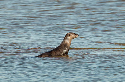 Photograph - Otter On A Sand Bar by Loree Johnson