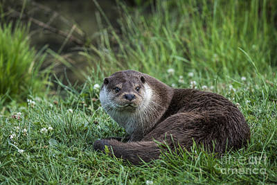 Otter On The Grass Art Print by Philip Pound