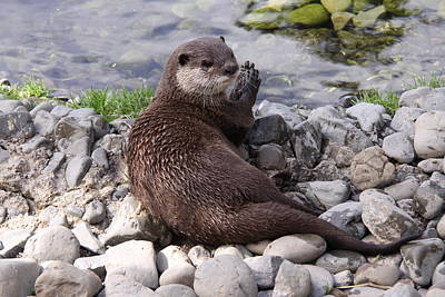 Otter Playing With Rocks Art Print by Stephen Athea