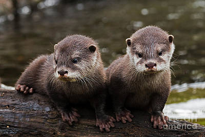 Photograph - Otter Pups by Sonya Lang