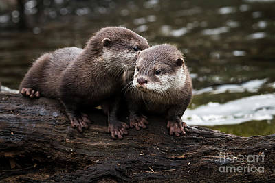 Photograph - Otter Secret by Sonya Lang