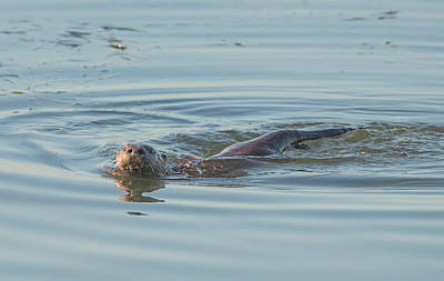 Photograph - Otter Swimming by Loree Johnson