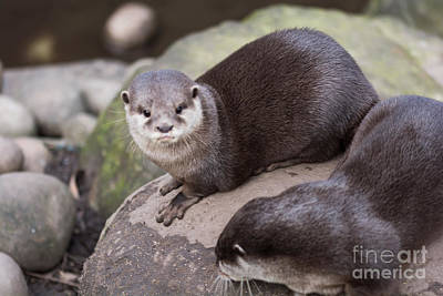 Olympic Sports - Otters in arms by Kevin Williams
