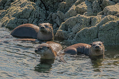 Photograph - Otters On The Rocks by Loree Johnson