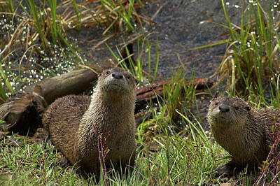 Photograph - Otters by Steve Stuller
