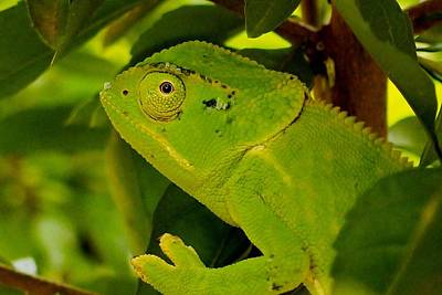 Photograph - Our Chameleon 01 by Dora Hathazi Mendes