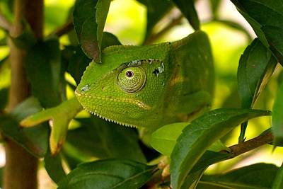 Photograph - Our Chameleon 02 by Dora Hathazi Mendes