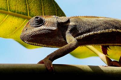 Photograph - Our Chameleon 05 by Dora Hathazi Mendes