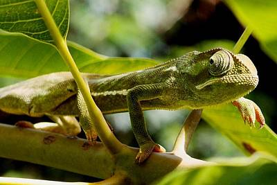 Photograph - Our Chameleon 06 by Dora Hathazi Mendes