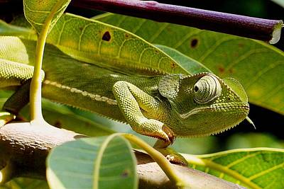 Photograph - Our Chameleon 07 by Dora Hathazi Mendes